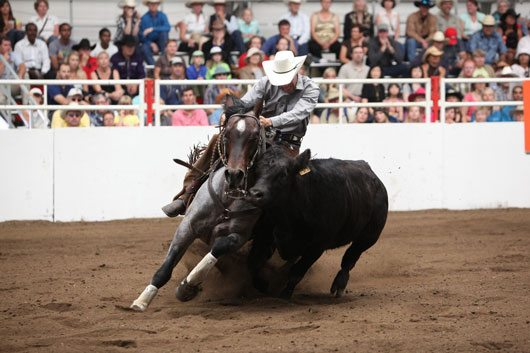 Cow Horse At Calgary Stampede