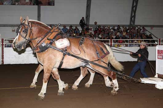 Heavy Horse Calgary Stampede