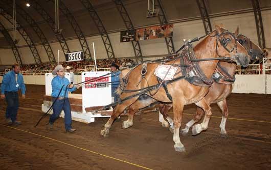 Calgary Stampede Heavy Horse