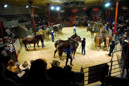 Calgary Stampede Heavy Horse Pull
