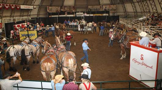 Calgary Stampede Heavy Horse Auction