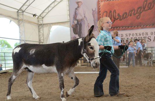 Mini Donkey Calgary Stampede