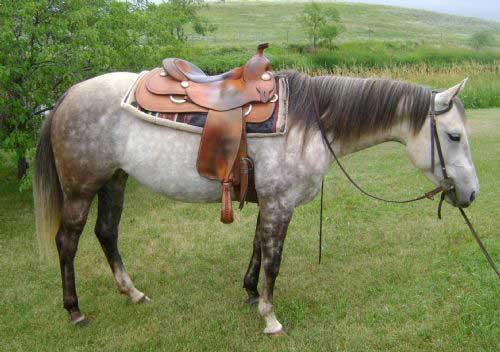 Shamrock Horse Sale