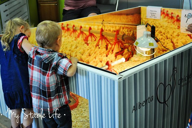Alberta Chickens, Calgary Stampede