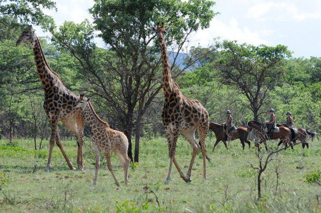 A baby giraffe sighting on a riding safari.