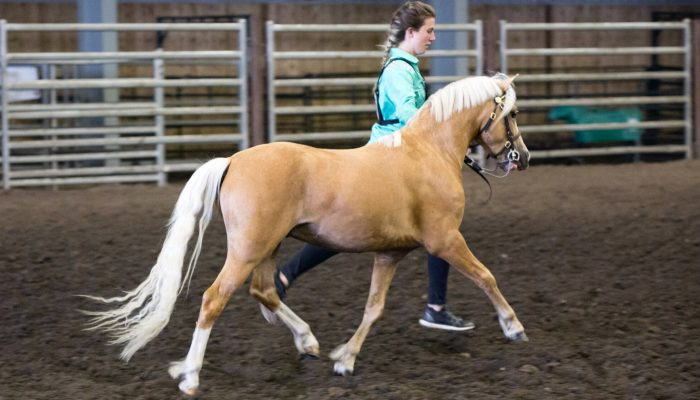 2018 Wild Rose Welsh & Open Pony Show